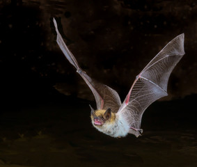 myotis bat in flight, up close