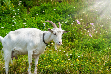 White goat on a green pasture on the grass