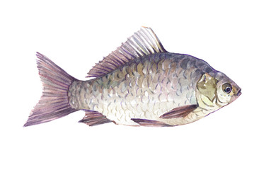 Watercolor single Crucian fish animal isolated on a white background illustration.