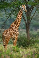 Giraffe - Giraffa, Kenya, Africa