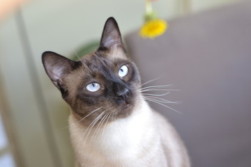 Siamese cat at home