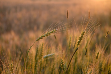 Golden field of ripe wheat in the evening