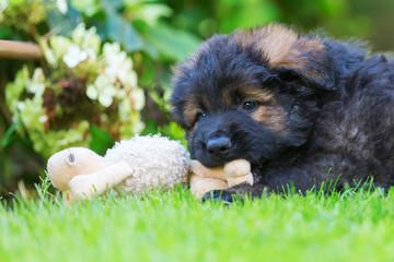 portrait of an old German shepherd puppy