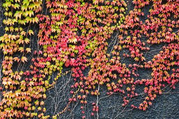 Colourful ivy covered wall of a rough texture building wall