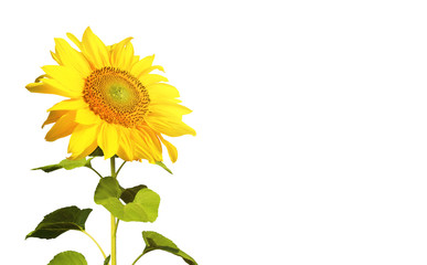Sonnenblume auf weissem Hintergrund