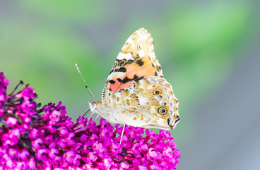Painted laidy butterfly collecting nectar at a budleja blossom