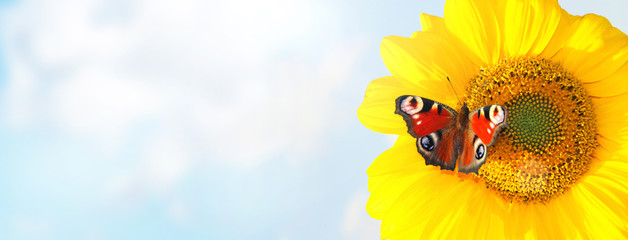 Wunderschöne Sonnenblume mit einem Schmetterling