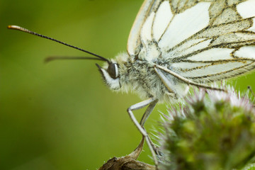 The marbled white - Melanargia galathea