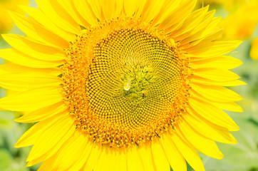 Bright sunflower flower close-up, summer background.