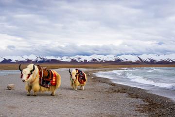 Yaks in Tibet,China