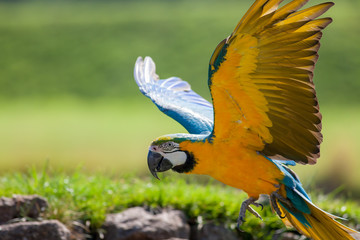 Blue and yellow (gold) macaw. Beautiful parrot bird flying in close up