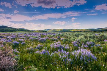 Fotobehang Lavendel Blue Flowers and Sage Below Wyoming Range, Wind River Mountains.