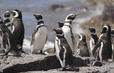 Pinguino de Magallanes, costa  Atlantica Argentina
