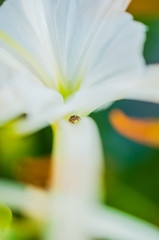Brown spider hiddenin white flower