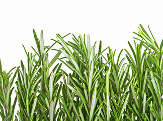 Pile of rosemary leaf isolated on a white background