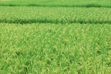 green rice field in farmland in Asia