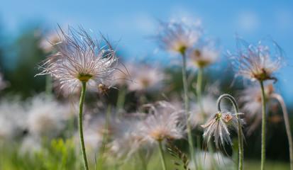 Fluffy flowers under blue sky bokeh