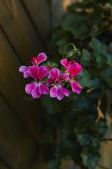 pelargonium Pelargonium peltatum geranium pink blossom close up