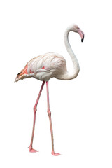 Flamingo Isolated on white background with clipping path.