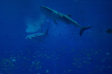 Whaleshark in giant Aquarium
