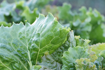 Lettuce leaves  in a garden