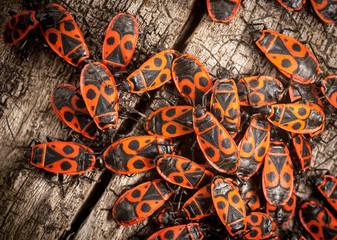 Fire bugs