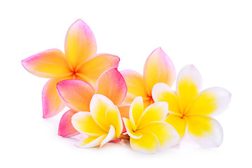 pink and white frangipani (plumeria) flower isolated on white background