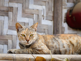 A cat at wooden house in Mandalay, Myanmar