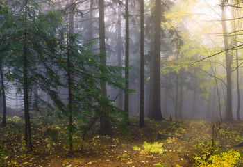 Keuken foto achterwand Grijze traf. Mysterious autumn forest with different color trees and dense fog in Czech Republic, Europe