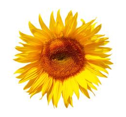Sonnenblume freigestellt auf weissem Hintergrund - sunflower, free object