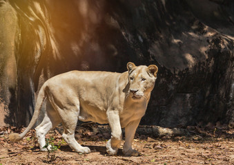 Female white lion walking relaxation in natural