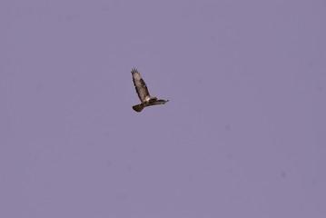 Birdwatching poiana (Buteo buteo)