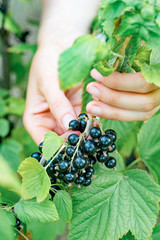 Close-up of hands collecting ripe blackcurrant from the bush.