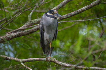 Yellow-crowned Night Heron perched on one leg
