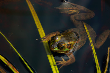 Frog clinging to Bright Green Grass in swampy water