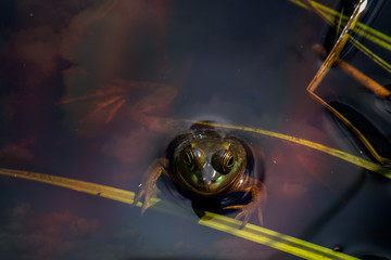 Frog floating in water with reflected clouds