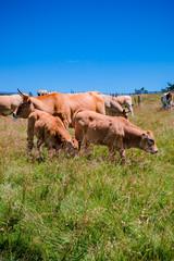 Les vaches dans les pâturages du Parc du Pilat