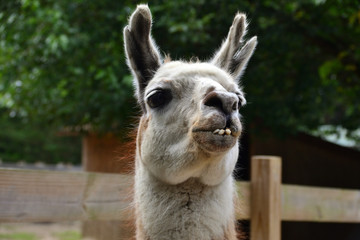 Fotorolgordijn Lama Llama