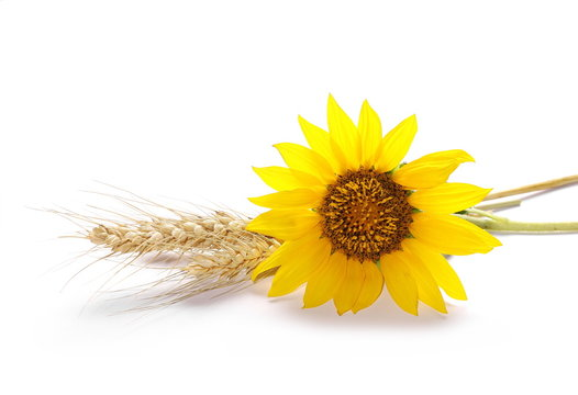 Sunflower with ears of wheat isolated on white background