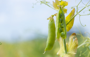 Mature pods of peas, yellow, ready to harvest