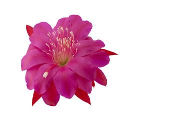 Pink flower of Epiphyllum cactus. Disocactus ackermannii. Orchid cactus. Pink flower of Epiphyllum cactus isolated on white background.