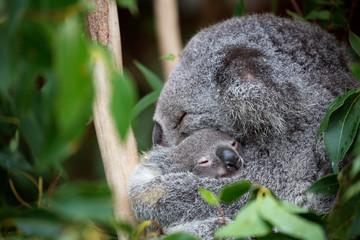 Mother koala cuddling her baby