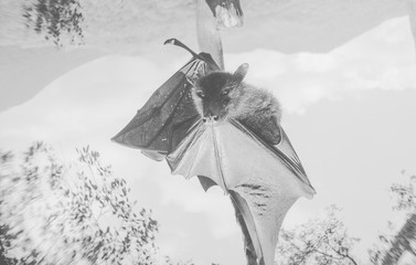 Black and white portrait of a giant fruit bat/flying fox hanging