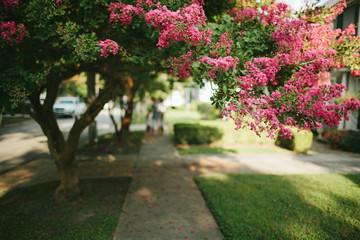 pink flowering tree shades a neighborhood sidewalk
