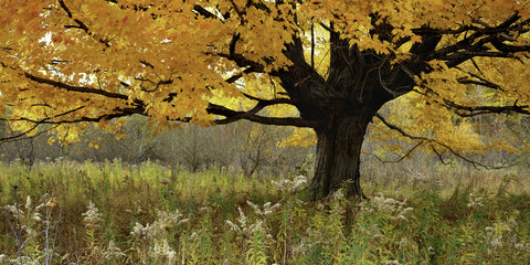 sugar maple (Acer saccharum) in autumn color, goldenrod (Solidago canadensis) gone to seed