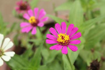 pink cosmos in the garden.