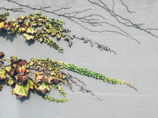 Ivy growing on urban wall in autumn