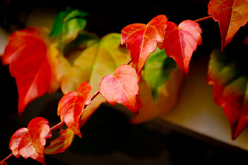 Vibrant, Glossy, Red Boston Ivy Leaves