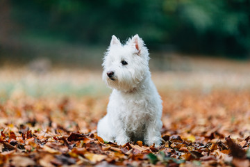 Adorable white dog sitting in a bed of leaves