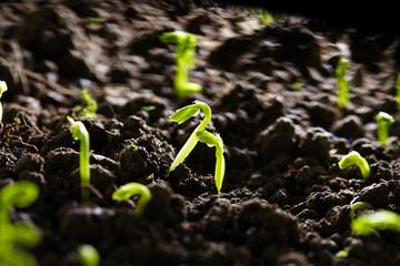 bean seedling growing